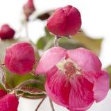Τα λουλούδια ενός Apple-δέντρου του niedzwetzkyana Dieck Nedzvetsky Malus Στοκ φωτογραφίες με δικαίωμα ελεύθερης χρήσης