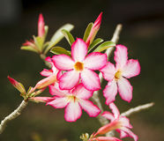 τα λουλούδια ερήμων αυξή Στοκ Φωτογραφίες