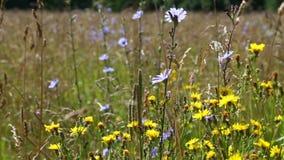 Τα λουλούδια λιβαδιών και τα αυτιά του καλαμποκιού ταλαντεύονται στον αέρα μια ηλιόλουστη θερινή ημέρα απόθεμα βίντεο
