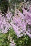 Τα λουλούδια κήπων, panicles, κλείνουν επάνω Στοκ εικόνα με δικαίωμα ελεύθερης χρήσης