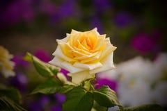 Τα λουλούδια, κίτρινος κήπος αυξήθηκαν Στοκ Φωτογραφίες