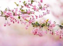 Δέντρο Sakura Στοκ φωτογραφίες με δικαίωμα ελεύθερης χρήσης
