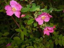 Τα λουλούδια και τα φύλλα των άγριων ροδαλών ισχίων Στοκ Φωτογραφία