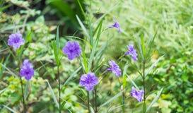 τα λουλούδια καλλιεργούν πορφύρα στοκ φωτογραφία με δικαίωμα ελεύθερης χρήσης