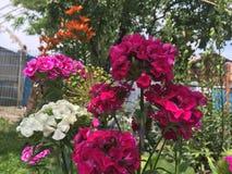 τα λουλούδια καλλιεργούν ροζ Στοκ Φωτογραφία