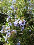 τα λουλούδια καλλιερ&g Στοκ φωτογραφία με δικαίωμα ελεύθερης χρήσης