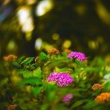 τα λουλούδια καλλιερ&g Στοκ εικόνες με δικαίωμα ελεύθερης χρήσης