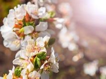 Τα λουλούδια κερασιών ανθίζουν ασιατικό λευκό ενάντια στο μπλε ουρανό υποβάθρου με το μακρο πυροβολισμό ακτίνων ηλιοφάνειας Στοκ φωτογραφία με δικαίωμα ελεύθερης χρήσης