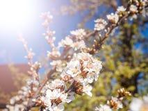 Τα λουλούδια κερασιών ανθίζουν ασιατικό λευκό ενάντια στο μπλε ουρανό υποβάθρου με το μακρο πυροβολισμό ακτίνων ηλιοφάνειας Στοκ Φωτογραφία