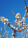 Τα λουλούδια κερασιών ανθίζουν ασιατικό λευκό ενάντια στο μπλε ουρανό υποβάθρου με το μακρο πυροβολισμό ακτίνων ηλιοφάνειας Στοκ Φωτογραφίες