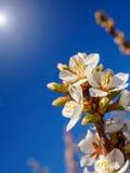 Τα λουλούδια κερασιών ανθίζουν ασιατικό λευκό ενάντια στο μπλε ουρανό υποβάθρου με το μακρο πυροβολισμό ακτίνων ηλιοφάνειας Στοκ εικόνα με δικαίωμα ελεύθερης χρήσης