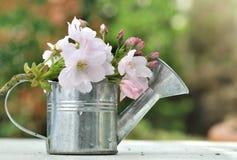 Τα λουλούδια κερασιών στο πότισμα μπορούν Στοκ Φωτογραφίες