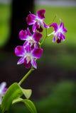 Τα λουλούδια ορχιδεών είναι ανθίζοντας Στοκ Φωτογραφίες