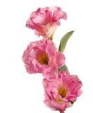 τα λουλούδια οδοντώνουν τρία Στοκ Φωτογραφίες