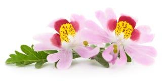 τα λουλούδια οδοντώνουν δύο Στοκ Εικόνα