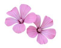 τα λουλούδια οδοντώνουν δύο Στοκ φωτογραφία με δικαίωμα ελεύθερης χρήσης