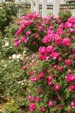 Τα λουλούδια πάρκων, αυξήθηκαν Στοκ Εικόνα