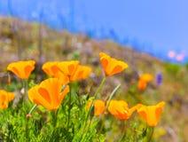 Τα λουλούδια παπαρουνών παπαρουνών στο πορτοκάλι σε Καλιφόρνια αναπηδούν τους τομείς στοκ εικόνες