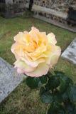 τα λουλούδια περιβάλλοντος αυξήθηκαν κίτρινος Στοκ Εικόνα
