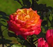 τα λουλούδια περιβάλλοντος αυξήθηκαν κίτρινος Στοκ Εικόνες