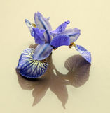 Τα λουλούδια περικοπών λουλουδιών βλαστάνουν την μπλε αντανάκλαση σκιών ίριδων Στοκ Εικόνα