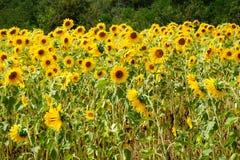 τα λουλούδια πεδίων στρέφουν τους μπροστινούς πλήρεις ηλίανθους ομάδας στοκ φωτογραφία με δικαίωμα ελεύθερης χρήσης