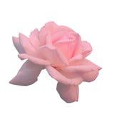Τα λουλούδια ρόδινα αυξήθηκαν Στοκ Εικόνες