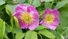 Τα λουλούδια ρόδινου ενός άγριου αυξήθηκαν Στοκ Φωτογραφίες