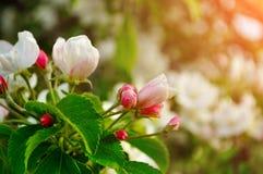 Τα λουλούδια της Apple ανθίζουν την άνοιξη κάτω από το μαλακό φως του ήλιου - φυσικό floral υπόβαθρο άνοιξη Στοκ Εικόνα