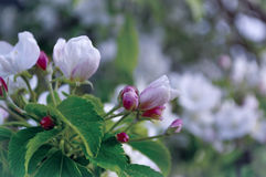 Τα λουλούδια της Apple ανθίζουν την άνοιξη κάτω από το μαλακό φως του ήλιου - φυσικό floral υπόβαθρο άνοιξη στους τόνους κρητιδογ Στοκ Εικόνες