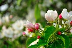 Τα λουλούδια της Apple ανθίζουν την άνοιξη κάτω από το μαλακό φως του ήλιου - φυσικό floral υπόβαθρο άνοιξη Στοκ Φωτογραφίες