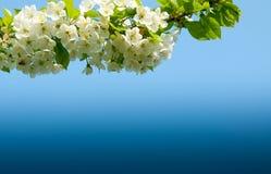 Τα λουλούδια της Apple σε ένα μπλε Στοκ Φωτογραφία