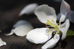 Τα λουλούδια της Apple στην ξύλινη επιτραπέζια επιφάνεια έπεσαν από τον αέρα Στοκ εικόνες με δικαίωμα ελεύθερης χρήσης