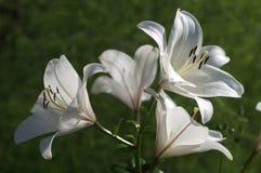 Τα λουλούδια της Lilia κλείνουν επάνω στοκ φωτογραφίες