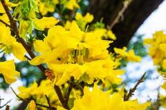 Τα λουλούδια του παραδοσιακού βιετναμέζικου νέου έτους Στοκ Εικόνα