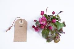 Τα λουλούδια του Apple-δέντρου του niedzwetzkyana Dieck Nedzvetsky Malus και της ετικέττας στο οποίο μπορείτε να γράψετε στο άσπρ Στοκ Φωτογραφία