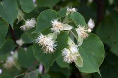 τα λουλούδια το δέντρο Στοκ Φωτογραφίες