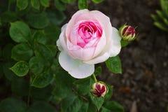 Τα λουλούδια τρία ρόδινα αυξήθηκαν οφθαλμοί που εκρήγνυνται στην άνθιση Στοκ Φωτογραφίες