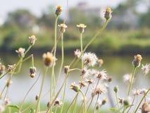 Τα λουλούδια χλόης στον κήπο Στοκ Φωτογραφία