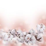 Τα λουλούδια ωριμάζουν το βαμβάκι Στοκ Φωτογραφίες