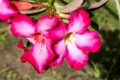 Τα λουλούδια arabicum Adenium με το νερό μειώνονται, Nusa Penida - Μπαλί, μέσα Στοκ Φωτογραφίες