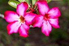 Τα λουλούδια arabicum Adenium με το νερό μειώνονται, Nusa Penida - Μπαλί, μέσα Στοκ Εικόνες