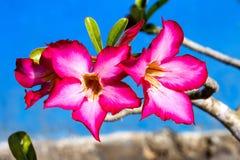 Τα λουλούδια arabicum Adenium με το νερό μειώνονται, Nusa Penida - Μπαλί, μέσα Στοκ φωτογραφίες με δικαίωμα ελεύθερης χρήσης