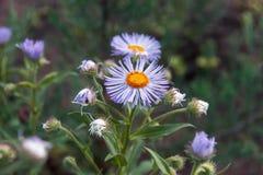 Τα λουλούδια Arctotis, θερινά λουλούδια στον κήπο Στοκ Φωτογραφία