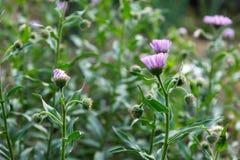 Τα λουλούδια Arctotis, θερινά λουλούδια στον κήπο Στοκ φωτογραφία με δικαίωμα ελεύθερης χρήσης