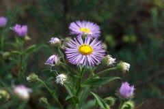 Τα λουλούδια Arctotis, θερινά λουλούδια στον κήπο Στοκ Εικόνα