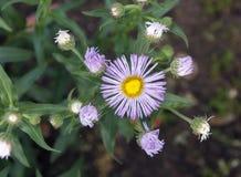 Τα λουλούδια Arctotis, θερινά λουλούδια στον κήπο Στοκ εικόνα με δικαίωμα ελεύθερης χρήσης