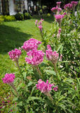Τα λουλούδια Cockcomb φυτεύουν στο ρόδινου και άσπρου χρώμα κήπων, μαλακό Foc Στοκ Εικόνα