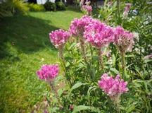 Τα λουλούδια Cockcomb φυτεύουν στο ρόδινου και άσπρου χρώμα κήπων, μαλακό Foc Στοκ φωτογραφία με δικαίωμα ελεύθερης χρήσης