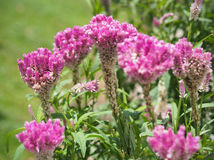 Τα λουλούδια Cockcomb φυτεύουν στο ρόδινου και άσπρου χρώμα κήπων, μαλακό Foc Στοκ Εικόνες